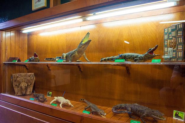 Vari-esemplari-di-Coccodrilli